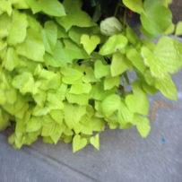 Fresh Green Hearts